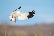 Snow Goose, Chen caerulescens, Bosque del Apache NWR, New Mexico