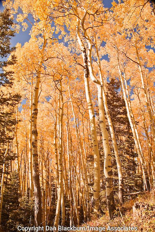 Brilliant fall aspen grove in the Cimarron Range, Colorado