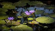 Water Lilies<br />      Gibbs Farm, Tanzania