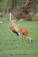 The end of April and the Sandhill Cranes are in the middle of mating season.