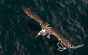 A Blue-footed booby lands on the Pacific ocean near the Galapagos isalnds, Ecuador.
