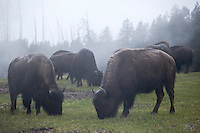 Herd of Bison Grazing Along Mud Volcano Trail, Yellowstone National Park, Wyoming