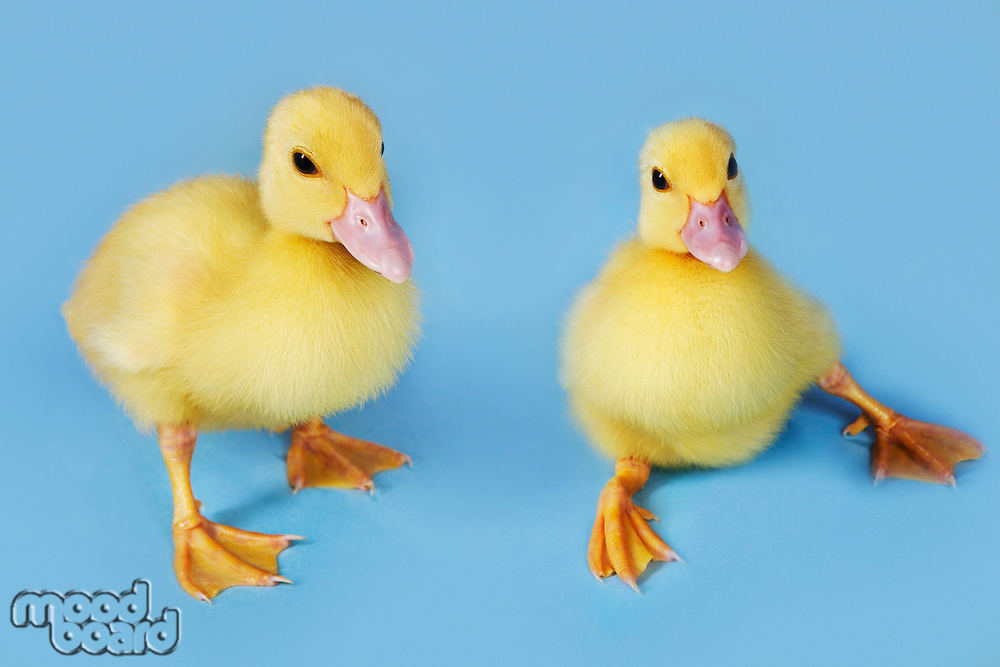 Two ducklings on blue background close-up