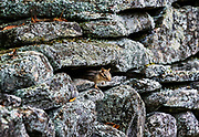 Chipmunk hides in a rustic fieldstone wall, Vermont, USA