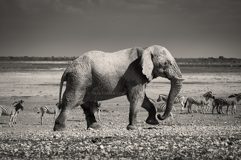 I've seen elephants in zoos, restricted, moving around in circles, stared at by the thousands of noisy visitors - such a desperate form of existence. In the 111 year old and 22,270 km² Etosha National Park in North West Namibia however, I was for the first time able to see these truly magnificent creatures in their natural habitat. Watching David Attenborough programs is always a delight but nothing prepares you for the sheer awe of seeing these animals in real life in their own world.<br /> <br /> From the heavily corrugated dust track, the first thing I saw was what looked like a huge rounded boulder beyond a hillock, but as we drove to the crest of the mound we realised it was in fact the head of a huge African elephant standing at a waterhole! This was real & I've never felt so small or humbled by wildlife. There are strict instructions never to leave your vehicle whilst in the park so I had to accept that looking out of the window was the best I was going to get.<br /> <br /> Around us herds of Zebra were drinking, running and frolicking with each other. Springbok daintily skipped past & Oryx and Giraffe were there too. Hundreds of birds flitted about & falcons & other birds of prey circled overhead. It was a visual tapestry of wildlife with so many species all measuring each other up and acknowledging the hierarchies at the hole. What struck me most was the grace of motion of the elephants. Every movement of foot or trunk was slow, fluid & purposeful. At times they were just like living statues, almost motionless, just studying the world about them, and at other times when walking, able to cover big distances so quickly but so gently. I was aware that they were aware of us, large eyeballs measuring us up but not seeming irritated or intimidated.<br /> <br /> It was hard (especially from the car window) to take in the reality of it all rather than still imagining it was a TV program. I also felt deeply sad that it's only a matter of time before wild elephants a