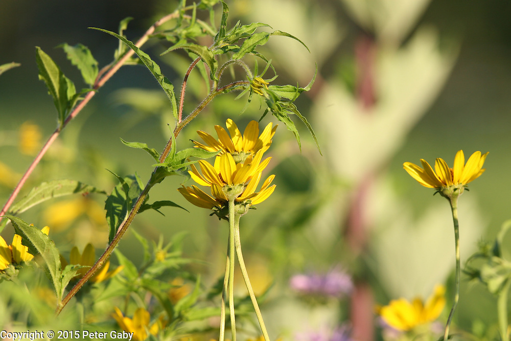 The Sunflowers have reached full bloom at Pope Farm Conservancy in Middleton,  WI. on  July 23, 2015.<br /> <br /> <br /> <br /> <br /> <br /> <br /> <br /> <br /> <br /> <br /> <br /> <br /> <br />  Pope Farm Conservancy, Middleton,  WI. on July 23, 2015.