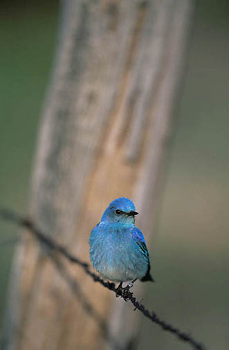Mountain Bluebird (Sialia currucoides) Male sitting on fence line near nestbox. Bridger Mountains. Montana