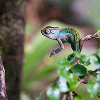 A chameleon at Tugela Gorge in the Northern Drakensberg area. Visit to the Northern Drakensberg Mountains. The iconic Amphitheatre rock formation is located in the Royal Natal National Park and is home to Tugela Falls.