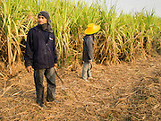 09 FEBRUARY 2015 - THA MAI, KANCHANABURI, THAILAND: Workers get ready to go through a sugarcane field looking for salvageable  stubble after a mechanical harvester clear cuts the field in Kanchanaburi, Thailand. Thailand is the world's second leading sugar exporter after Brazil. The 2015 sugarcane harvest in Thailand is expected to fall about 5% compared to the 2014 harvest because of a continuing drought in Southeast Asia. Brazilian production is also expected to fall this year because of ongoing drought in Brazil. Australia, the number 3 sugar exporter, is also expected to see a smaller harvest this year because of continuing draught in Australia.   PHOTO BY JACK KURTZ