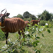 January 30, 2004 - Rare mountain bongos are protected at the Mount Kenya Game Ranch in central Kenya. The small population of protected bongo currently living in Kenya were joined by 18 other bongos who have been returned to the Mount Kenya area in a major step to save the species from extinction. Photo by Evelyn Hockstein