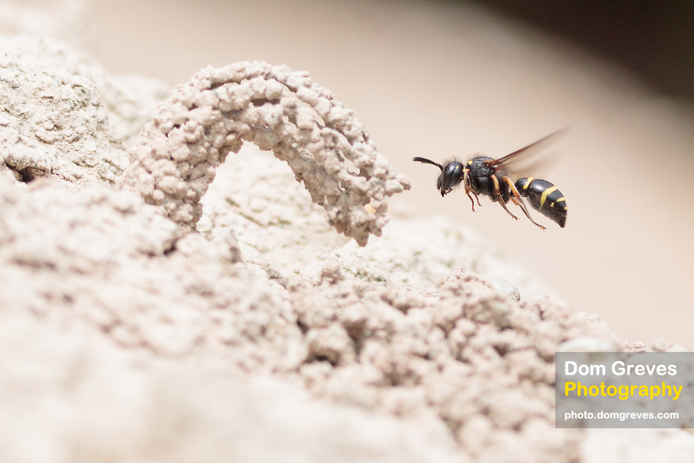 Spiny mason wasp (Odynerus spinipes) with nest chimney constructed from clay. Dorset, UK.