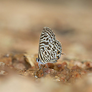The Zebra Blue or Plumbago Blue (Leptotes plinius) in Chaloem Phrakiat Thai Prachan National Park, Thailand.