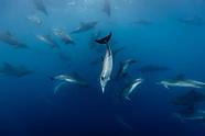 Tursiops truncatus (Bottlenose dolphin)