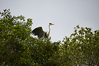 Cocoi Heron (Ardea cocoi), The Pantanal, Mato Grosso, Brazil Photo by: Peter Llewellyn