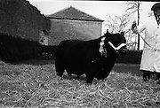 13/4/1966<br /> 4/13/1966<br /> 13 April 1966<br /> <br /> Pedigree Bull at Clonacody