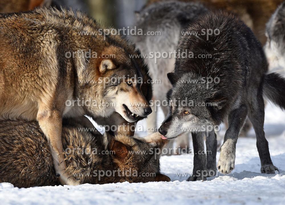 28.12.2014, Wildtierpark, Bad Mergentheim, GER, W&ouml;lfe im Wildtierpark Bad Mergentheim, im Bild Maennlicher Leitwolf, Alphawolf, Zurechtweisung eines Jungtiers, Rangordnung, Dominanz, Timberwolf, Kanadischer Wolf (Canis lupus occidentalis) im Schnee, captive // Wolves in the Wildtierpark in Bad Mergentheim, Germany on 2014/12/28. EXPA Pictures &copy; 2015, PhotoCredit: EXPA/ Eibner-Pressefoto/ Weber<br /> <br /> *****ATTENTION - OUT of GER*****