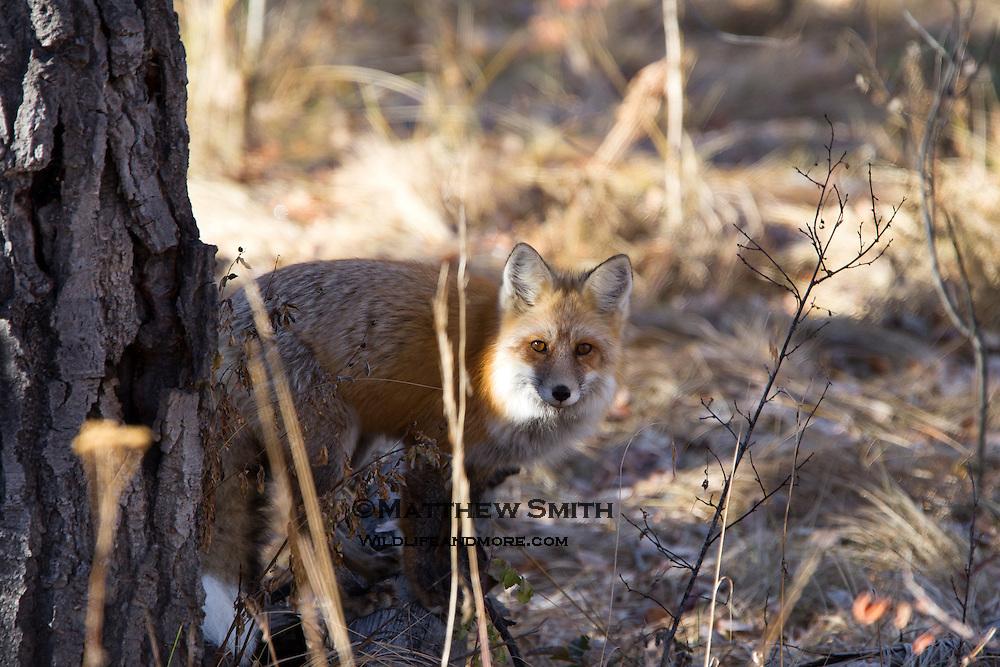 Fox in Grand Teton National Park