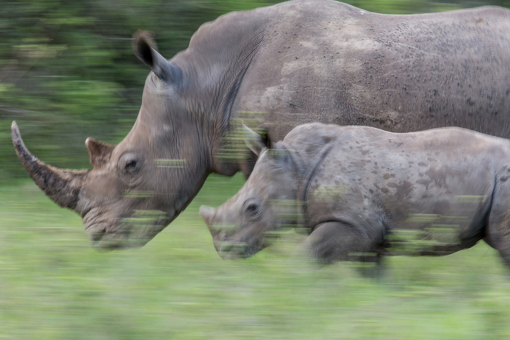Mother and calf southern white rhino running through grass