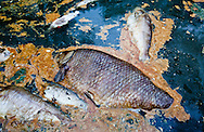 Fish Kill in a bayou off the Pearl River in St. Tammany Parish Louisiana caused by a spill/ discharge from the Temple-Inland paper mill in Bogalusa made up of a mixture of pulp and unspecified chemicals that turned the river black  killing fish, shellfish and turtles along 40 miles of the river. The chemicals released into the river depleted oxygen levels which caused the fish kill in the river and its' many tributaries. Clean-up crews were dispatched on the Aug. 18th to remove the dead fish before they sink depleting the waterway of more oxygen causing an even larger environmental disaster.