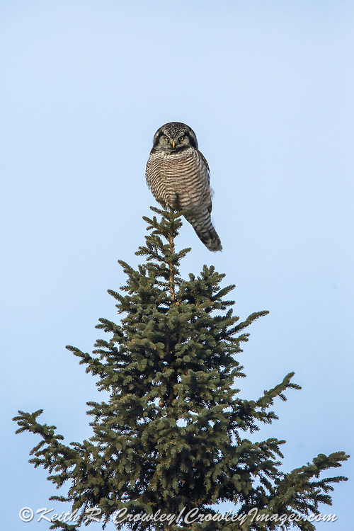 Northern Hawk Ow perched on a tree top.