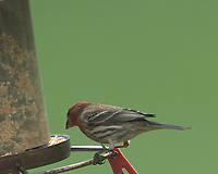 House Finch at the bird feeder. Image taken with a Nikon D5 camera and 600 mm f/4 VR lens (ISO 500, 600 mm, f/5.6, 1/100 sec).
