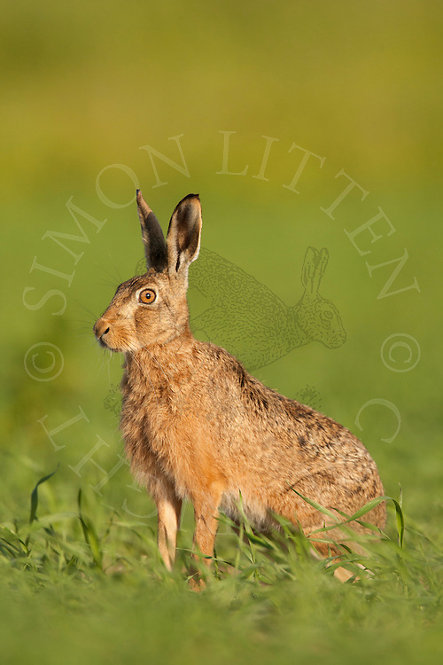 European Hare (Lepus europaeus) adult, alert,  in set-aside field, Norfolk, UK.
