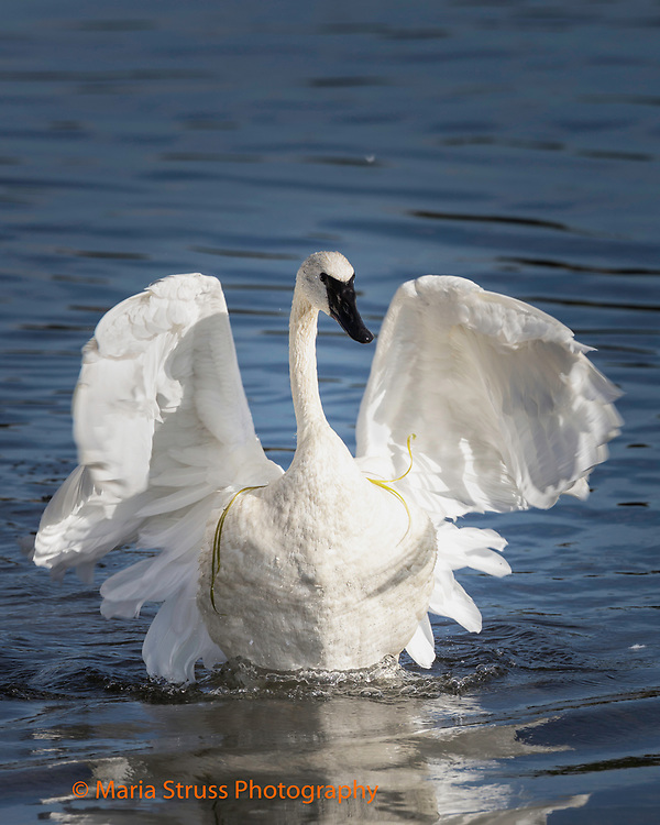 The trumpeter swan is the heaviest native North American bird.  The swan's wing span can reach 10 feet. Due to their size and weight they require a long distance to become airborne. The swans breed in wetlands from Alaska to the Northwest United States.