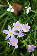 Crocuses and Snowdrops grow in Oxfordshire woodland , The Cotswolds, United Kingdom