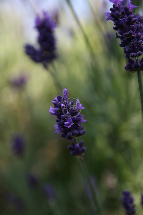 Flowers at home, July 2012. Lavender.