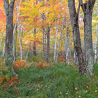 Beautiful fall foliage, in Sieur du Monts section of Acadia National Park, Bar Harbor, Maine.
