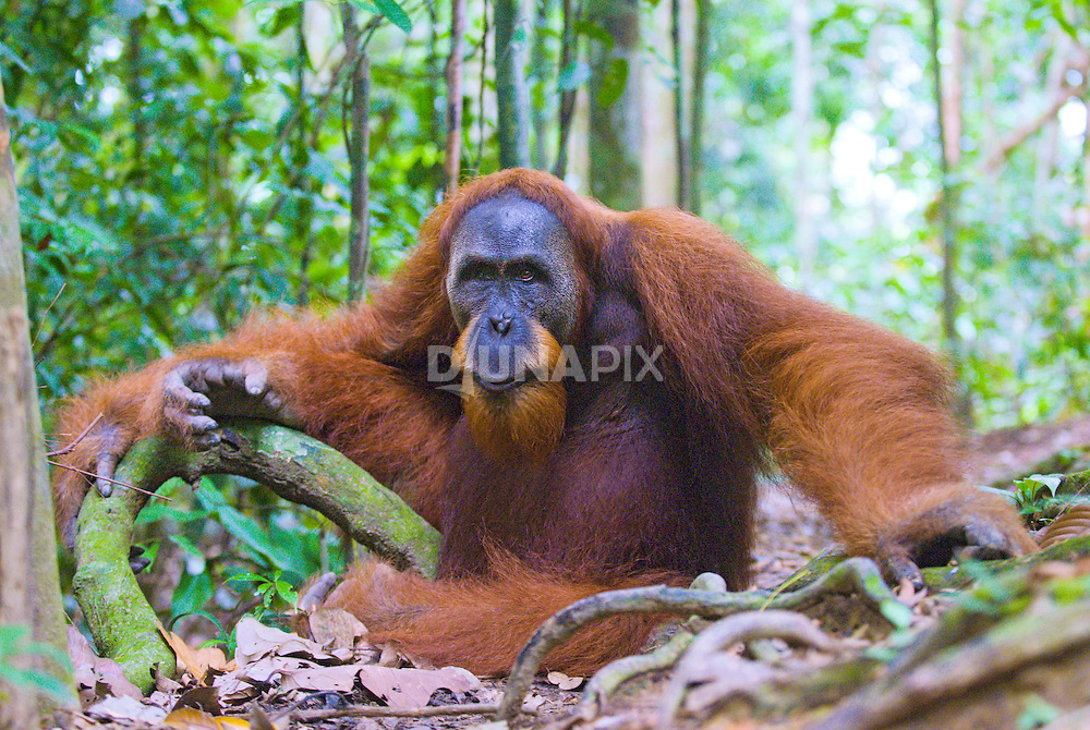 A male Sumatran orangutan guards a trail in Gunung Leuser National Park.