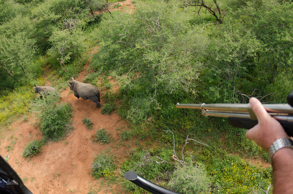 White Rhinoceros (Ceratotherium simum) being darted from helicopter. For relocation by Conservation Solutions<br /> Private Game Reserve<br /> SOUTH AFRICA<br /> RANGE: Southern & East Africa<br /> ENDANGERED SPECIES