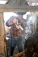 WY02336-00...WYOMING - Barry Crago uses an electric branding iron to mark his cattle on the Willow Creek Ranch. MR# C11