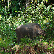 A wild eurasian male pig, sus scrofa, in Pang Sida National Park, Thailand.