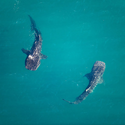 Whale sharks in the the Gulf of California near La Paz, Baja California Sur, Mexico