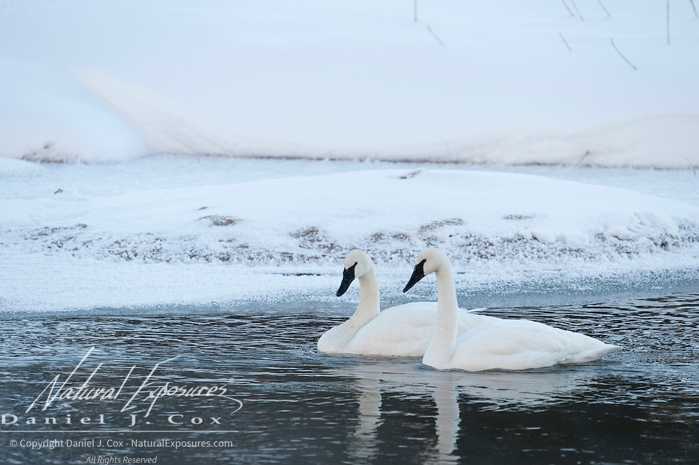 Trumpeter Swans on the Madison River. Yellowstone National Park, Wyoming
