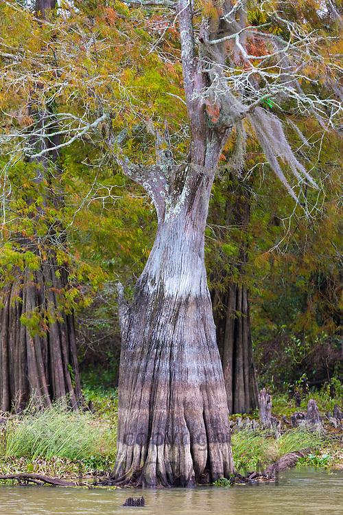 Bald cypress tree deciduous conifer, Taxodium distichum, showing high water marks  in Atchafalaya Swamp, Louisiana USA