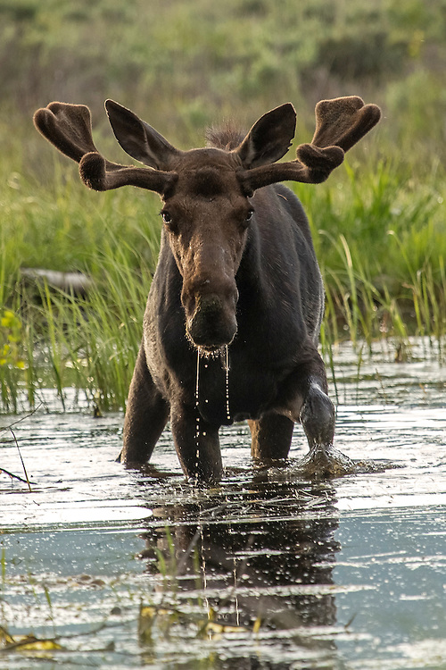 During the summer months, moose spend a large proportion of their time in water, which helps to keep them cool. While in the water, moose reduce their respiration rate by almost 30%, and their overall energy expenditure by 10%, helping the moose stay comfortable in the sweltering heat.