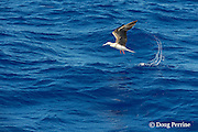 juvenile red-footed booby, Sula sula, lifts off the water after splashing down over a school of fish, Vava'u, Kingdom of Tonga, South Pacific