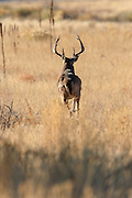 Whitetail buck in prairie grasslands habitat