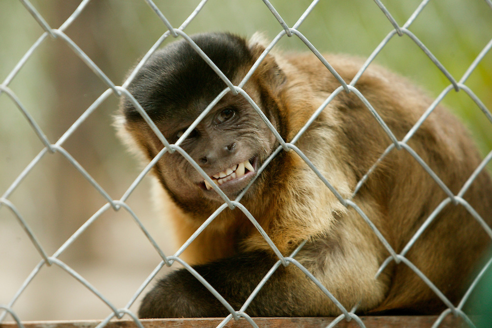 A capuchin monkey (Cerbus apella) in captivity at the Conselho Nacional dos Seringueiros (rubber tappers union) shelter in Alter do Chao, Brazil. shelter in Alter do Chao, Brazil.