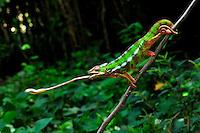 Panther Chameleon (Furcifer pardalis),<br /> male, Mananara, Eastern Madagascar Image by Andres Morya