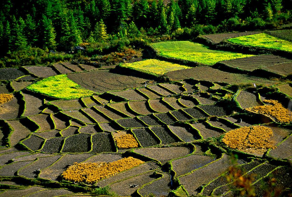 Rice terraces near the Drukgyel Dzong, Paro Valley, Bhutan