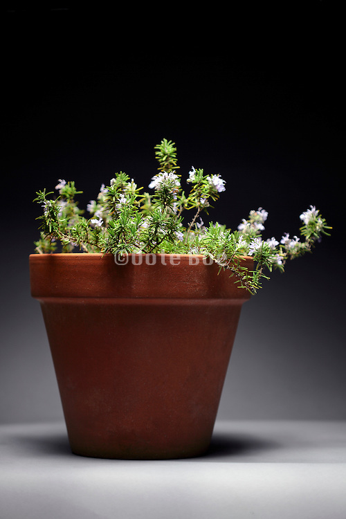 Rosemary herb plant in earthen pot
