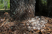 Florida Pine Snake (Pituophis melanouecus mugitus) CAPTIVE<br /> The Orianne Indigo Snake Preserve<br /> Telfair County. Georgia<br /> USA<br /> HABITAT & RANGE: Pine-oak woodlands, longleaf pine forests and sandhills of Florida, Alabama, Georgia and South Carolina.<br /> IUCN STATUS: Special Concern