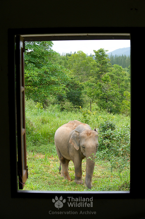 Wild female asian elephant, Elephas maximus, in Kui Buri Thailand. The animal is photographed from a ranger station window showing how animals and man are being brought together by habitat destruction.