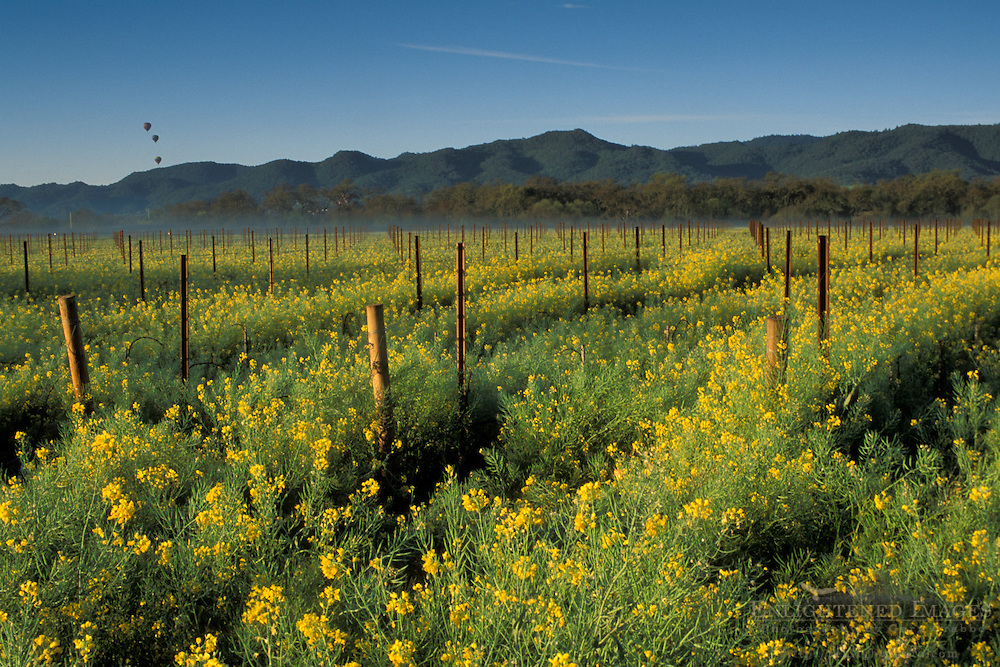 Hot air balloons over mustard flowers bloom in spring in a vineyard, near the Silverado Trail, Napa Valley Wine Country, California
