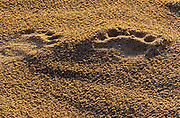 Tracks in the sand of the polar bear  (Ursus maritimus) on frozen tundra on the Hudson Bay Coast<br />