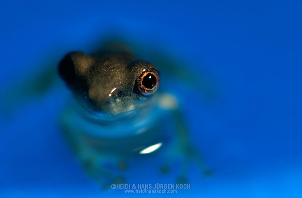 DEU, Deutschland: Osteocephalus leprieurii, komplett entwickelte junger Frosch sitzt in seichtem Wasser, Herkunft: Südamerika | DEU, Germany: Cayenne slender-legged tree frog (Osteocephalus leprieurii), juvenile frog standing in shallow water, origin: South America |
