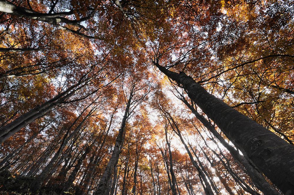 Beech forest in autumn, Piatra Craiului National Park, Transylvania, Southern Carpathians, Romania